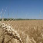 El descobriment del genoma del blat