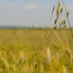 Moderat optimisme davant de la collita de cereal d'aquest any