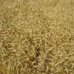Del trigo al pan