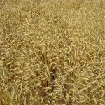Del blat al pa