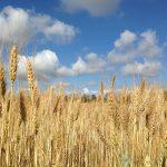 Afecta la producció de pa al medi ambient?